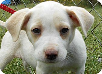 Labrador Retriever/Beagle Mix Puppy for adoption in Allentown, New Jersey - Hilary
