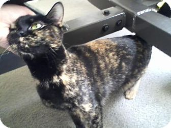 Domestic Shorthair Cat for adoption in Wilmore, Kentucky - Lizzy