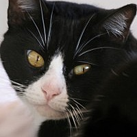 Domestic Shorthair Cat for adoption in North Fort Myers, Florida - Copper