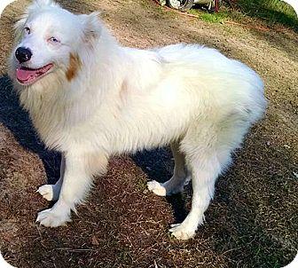 Australian Shepherd Dog for adoption in Goldsboro, North Carolina - Blanco