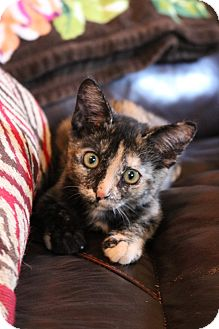 Domestic Shorthair Kitten for adoption in Homestead, Florida - Lucy (Fran)