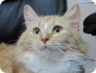 Domestic Longhair Cat for adoption in Lloydminster, Alberta - Zelda
