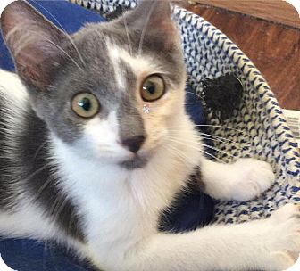 Domestic Shorthair Kitten for adoption in Middletown, Ohio - Jelly Bean