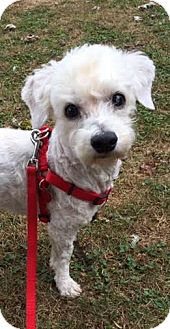 Bichon Frise Dog for adoption in Seymour, Connecticut - Indy: Well Behaved Boy (VA)