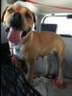 Labrador Retriever/Shepherd (Unknown Type) Mix Dog for adoption in Beverly Hills, California - Mila