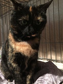 Domestic Shorthair Cat for adoption in Greensburg, Pennsylvania - Checkers