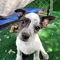 Terrier (Unknown Type, Medium)/Chihuahua Mix Puppy for adoption in San Antonio, Texas - Clapton