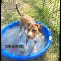 Adopt A Pet :: Thunder - Chattanooga, TN