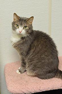 Domestic Shorthair Cat for adoption in Atlanta, Georgia - Rainier170031