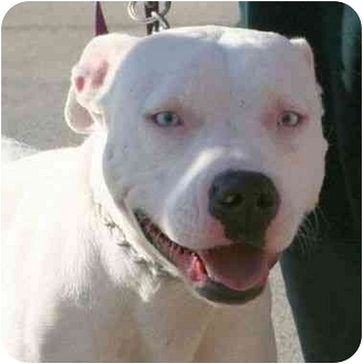 American Pit Bull Terrier Mix Dog for adoption in Berkeley, California - Alba