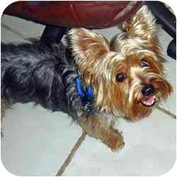 Yorkie, Yorkshire Terrier Dog for adoption in Fairfax, Virginia - Bowie