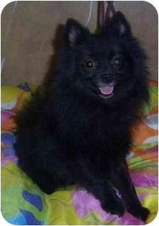 Pomeranian Dog for adoption in Coal City, West Virginia - Baby Bear