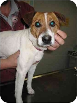Jack Russell Terrier Dog for adoption in Florence, Indiana - Sparky