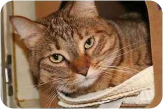 Domestic Mediumhair Cat for adoption in Walker, Michigan - Carmela