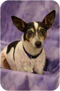 Rat Terrier Mix Dog for adoption in Hendersonville, Tennessee - Nellie