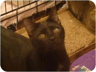 Domestic Shorthair Cat for adoption in Muncie, Indiana - Inky