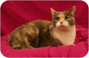 Domestic Shorthair Cat for adoption in Sacramento, California - Penny