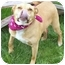 Photo 2 - American Pit Bull Terrier/American Pit Bull Terrier Mix Dog for adoption in Howes Cave, New York - Flower - On Hold