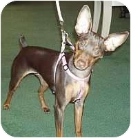 Miniature Pinscher Puppy for adoption in Columbus, Ohio - Poppy