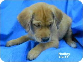Golden Retriever Mix Puppy for adoption in Westport, Connecticut - Hadley