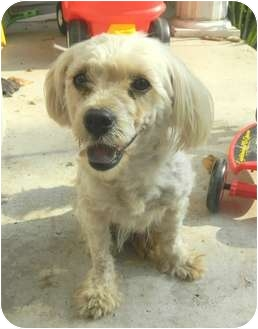 Cockapoo Mix Dog for adoption in Paintsville, Kentucky - Molly-PENDING