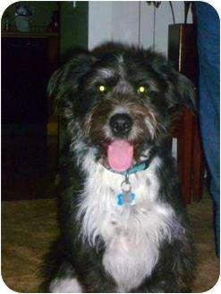 Scottish Deerhound/Portuguese Water Dog Mix Dog for adoption in Saskatoon, Saskatchewan - Murphy