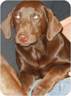 Labrador Retriever Mix Puppy for adoption in East Rockaway, New York - Cocoa