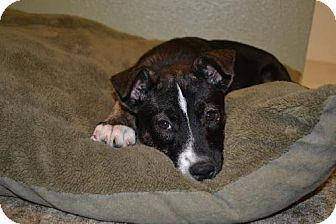 American Staffordshire Terrier Puppy for adoption in Clovis, New Mexico - Lucy