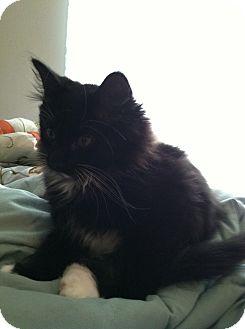 Domestic Mediumhair Kitten for adoption in Monroe, Georgia - Squrit