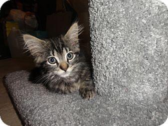 Domestic Longhair Kitten for adoption in Barnegat, New Jersey - Rambo