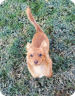 Chihuahua/Pomeranian Mix Dog for adoption in Humble, Texas - Reese