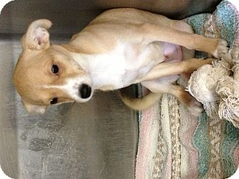 Chihuahua Mix Puppy for adoption in Kerrville, Texas - Ginger