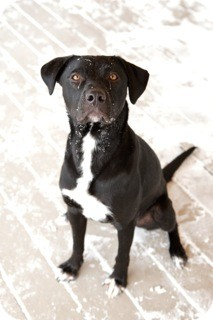 Labrador Retriever/Pointer Mix Dog for adoption in Chicago, Illinois - Toby*ADOPTED!*