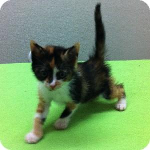 Calico Kitten for adoption in Gilbert, Arizona - Dakota