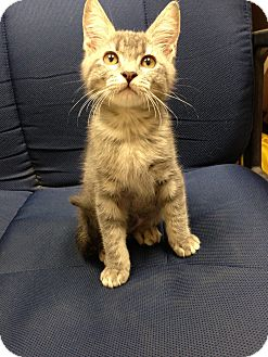 Domestic Shorthair Kitten for adoption in Fountain Hills, Arizona - BABBITY