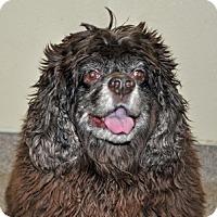 Adopt A Pet :: Choco - Port Washington, NY