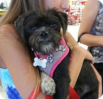 Affenpinscher Mix Dog for adoption in Phoenix, Arizona - Betty Boop
