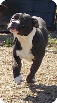 Pit Bull Terrier Mix Dog for adoption in Lewisburg, Tennessee - Keo