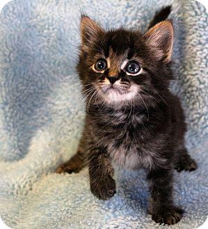 Maine Coon Kitten for adoption in Greensboro, North Carolina - Crane