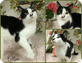 Domestic Shorthair Cat for adoption in Joliet, Illinois - Olive