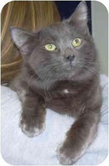 Domestic Mediumhair Cat for adoption in West Warwick, Rhode Island - Chong