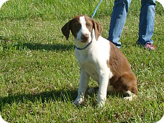 Pointer Mix Puppy for adoption in Cameron, Missouri - carley