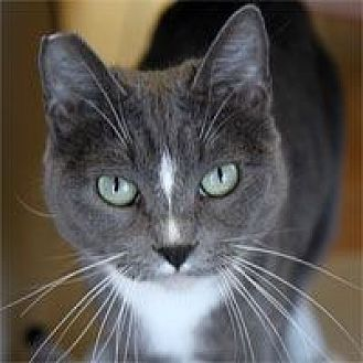 Domestic Shorthair Cat for adoption in Pacific Grove, California - Clara Bell