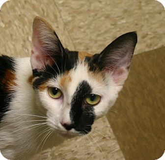 Domestic Shorthair Cat for adoption in Hastings, Nebraska - Kaleiedoscope