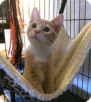 Domestic Shorthair Kitten for adoption in Savannah, Georgia - Yun
