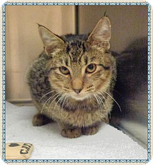 Domestic Shorthair Kitten for adoption in Marietta, Georgia - GILBERT