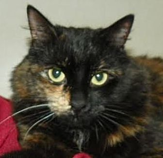 Domestic Mediumhair Cat for adoption in Richmond Hill, Ontario - Audrey *Happy Single*