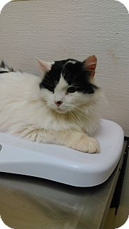 Maine Coon Cat for adoption in Exton, Pennsylvania - Boo (LV)