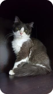 Russian Blue Kitten for adoption in Albemarle, North Carolina - Berlioz