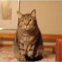 Domestic Shorthair Cat for adoption in Pasadena, California - Egypt